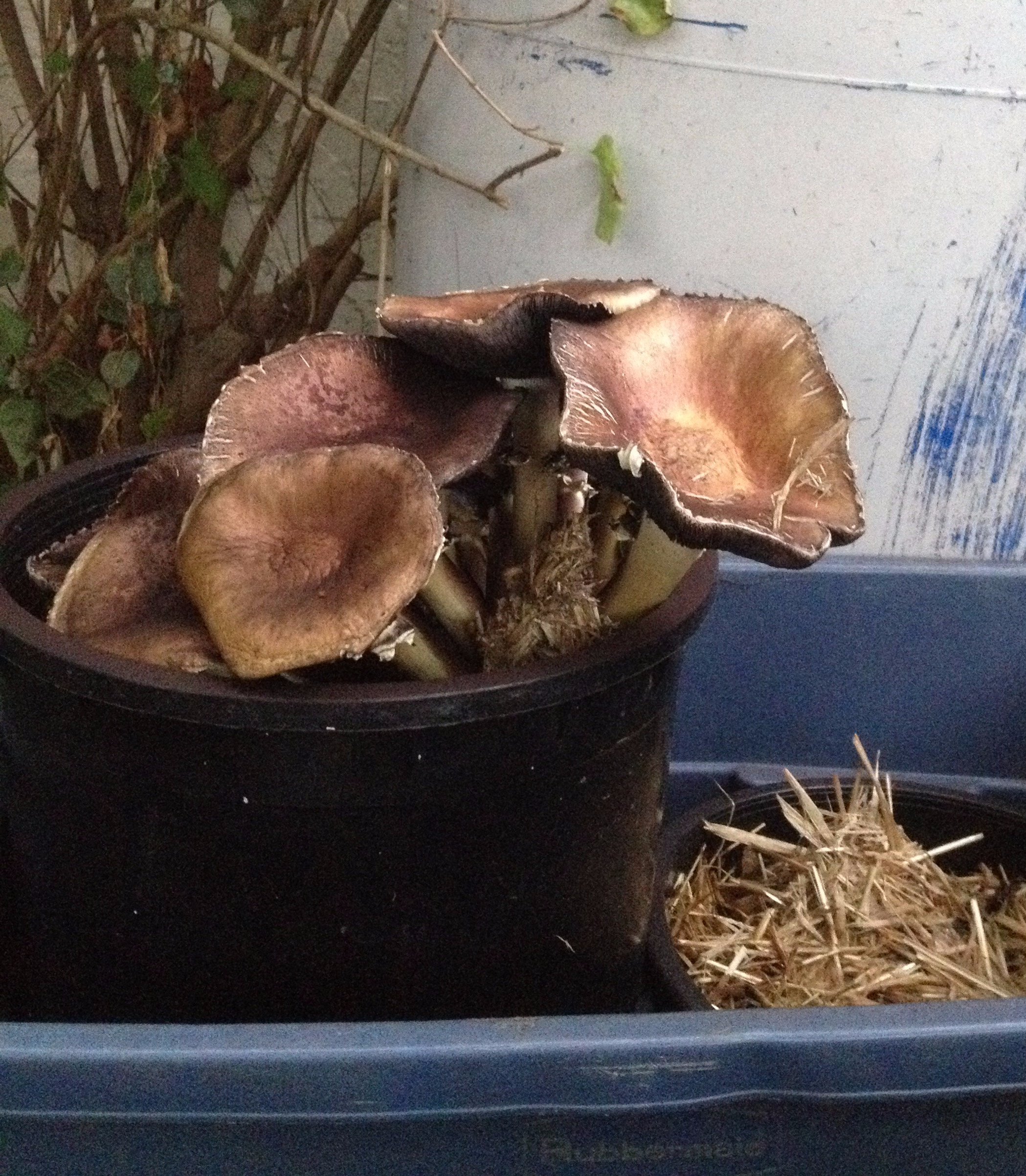 King Stropharia growing in pots