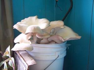 oyster bucket