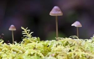 Mycena stipata mushroom